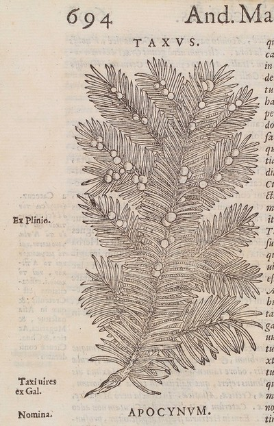 Woodcut of a branch from the common yew tree (taxus baccata).