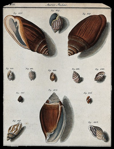 A variety of shells. Coloured etching.