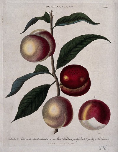 A branch of a Prunus cultivar bearing both peaches and nectarines. Coloured etching by J. Pass, c. 1810.
