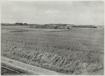 De Augustapolder vanaf de Scheldedijk naar het noorden gezien; op de voorgrond een akker met tarwe