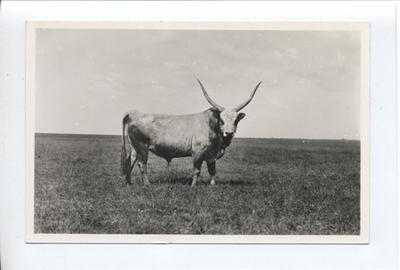 Magyar bika, Hortobágy