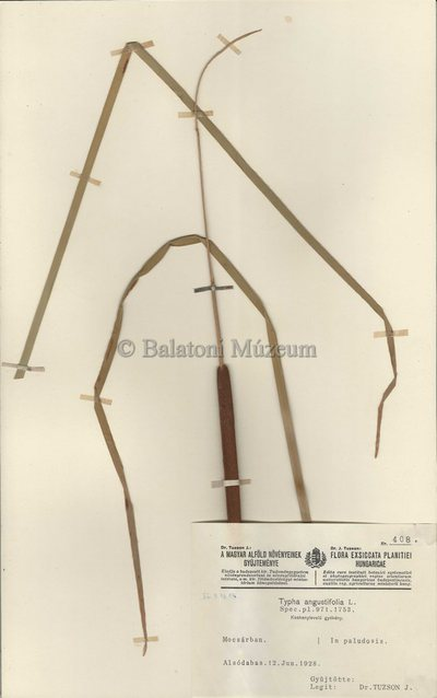 Typha angustifolia herbáriumi lap