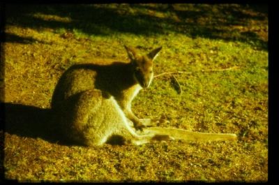 Lusta kenguru