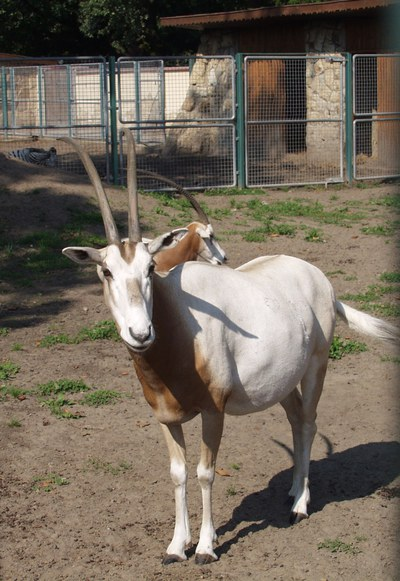 Kardszarvú antilopok