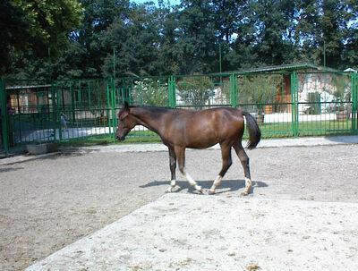 Baba nevű ló csikója