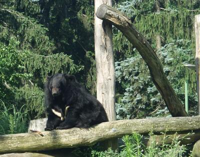 Örvös medve