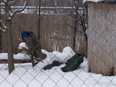Pávák télen