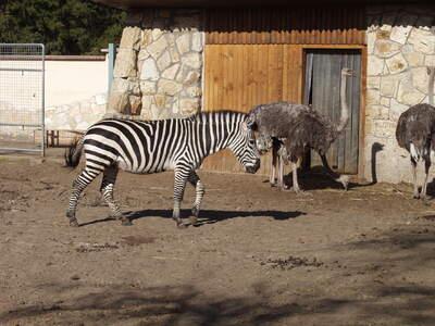 Zebra és strucc