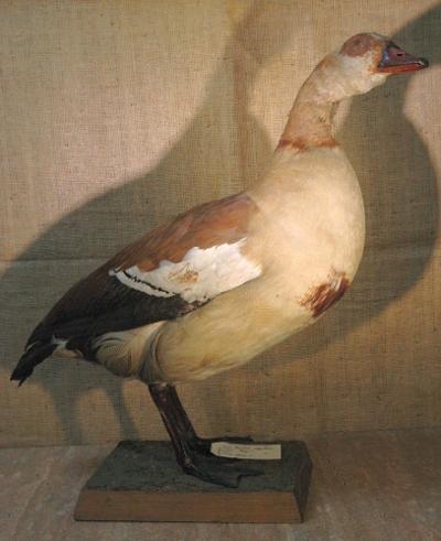 Alopochen aegyptiacus