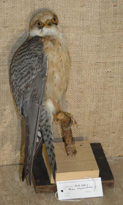 Falco vespertinus