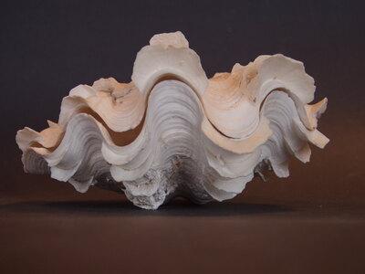 Tridacna squamosa