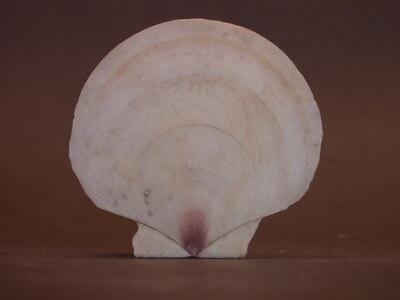Amusium pleuronectes fél
