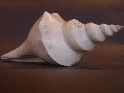 Hemifusus sp. Csiszolt