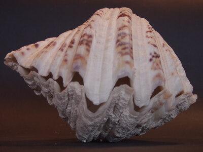 Hippopus porcelanus