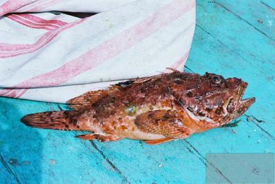 Fonds Henri-Paul Brémondy : Rascasse brune (Scorpaena porcus) - Photographie en lien avec le corpus sonore La pêche traditionnelle varoise dans les années 1970