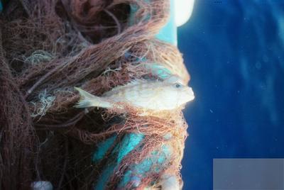 Fonds Henri-Paul Brémondy : Poisson dans le filet - Photographie en lien avec le corpus sonore La pêche traditionnelle varoise dans les années 1970