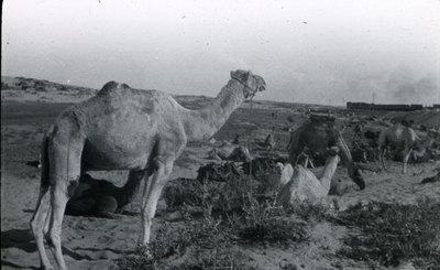 Camel lines, Mayar