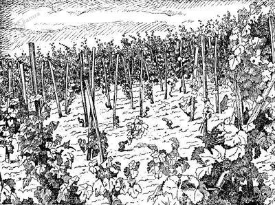 Vinograd, opustošen od trtne uši