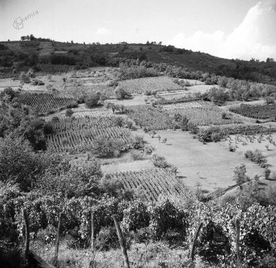 Pogled na vinograde nekoč