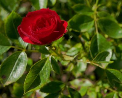 Rosengarten / B-4 2019 / Unbekannte Rose