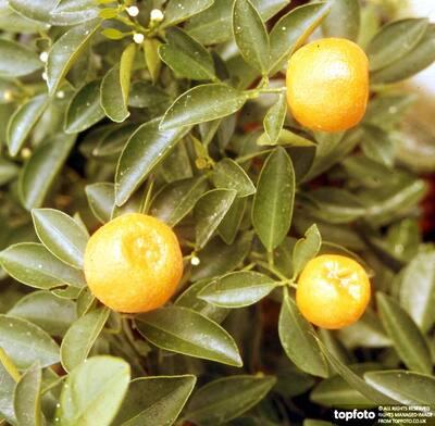Satsumas/Citrus Mitis