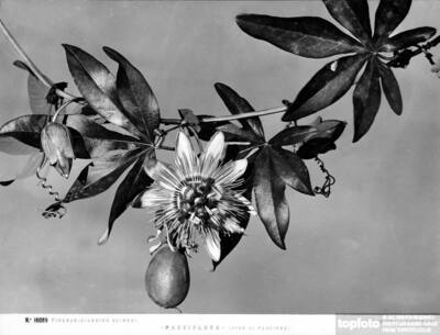 Passionflower stem with blooms and