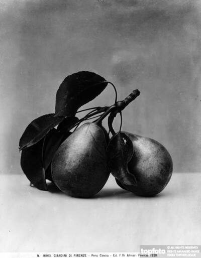 Coscia Pear, Gardens of Florence.<datePhoto>1929</DatePhoto>