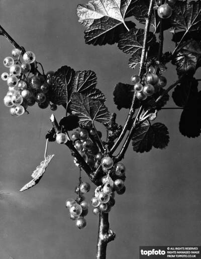 Currants (Ribes Rubrum). A plant