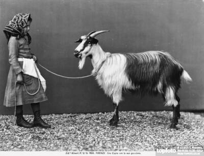 A goat with his small