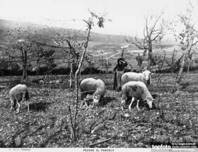 Sheep at pasture<datePhoto>1915-1920 ca.</DatePhoto>
