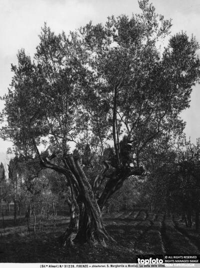 Olive trees on a hill