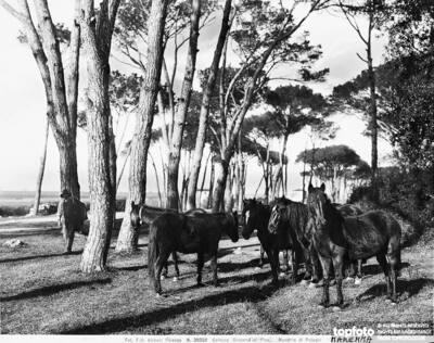 Estate of Coltano. Drove of