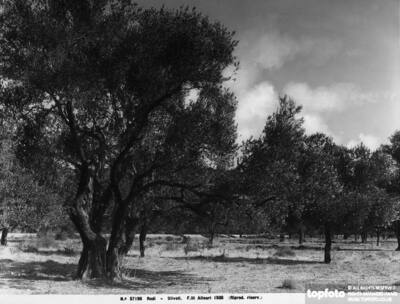 An olive grove on the