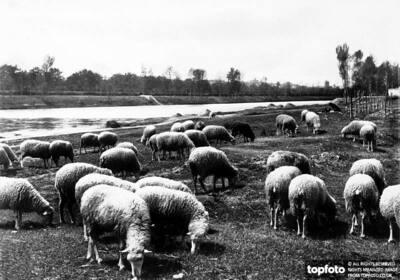 Grazine sheep<datePhoto>1915-1920 ca.</DatePhoto>