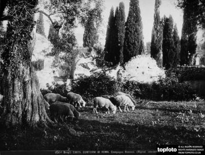 Sheep out to pasture, in