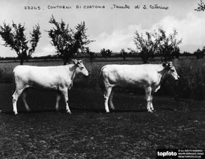 Cortona (environs). Estate of S.