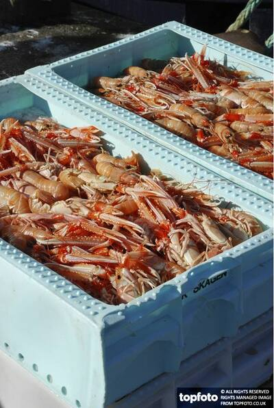 Langoustine fresh from the sea