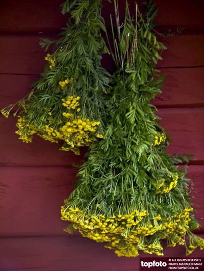 Bunch of yellow yarrow hanging