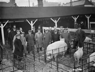 Farmers stand over the pigs