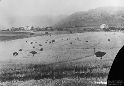 Ostrich farm in South Africa