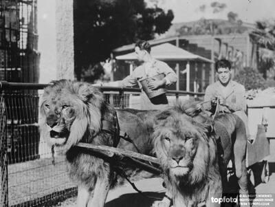 Lions broken to harness ._x000D_ Tarzan