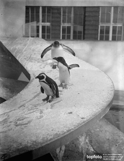 Zoo penguins make merry in