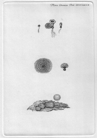Cyathus campanulatus Corda