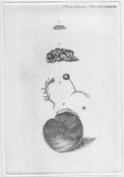 Trichia decipiens var. decipiens (Pers.) T. Macbr. 1899