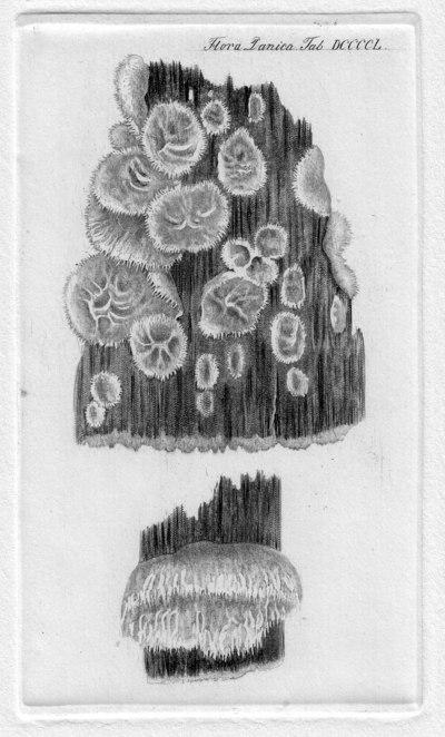 Thelephora caryophyllea (Schaeff.) Pers. 1801
