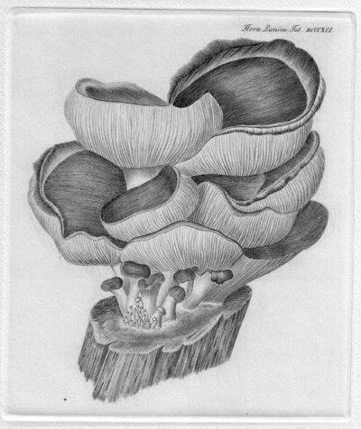 Agaricus spodoleucus Fr.