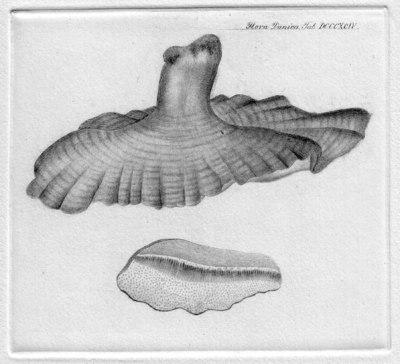 Ganoderma lucidum (Curtis) P. Karst. 1881