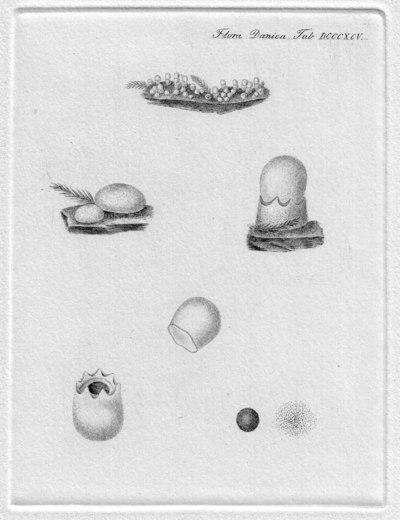 Sphaerobolus stellatus Tode
