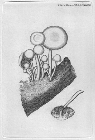 Oudemansiella mucida (Schrad.) H