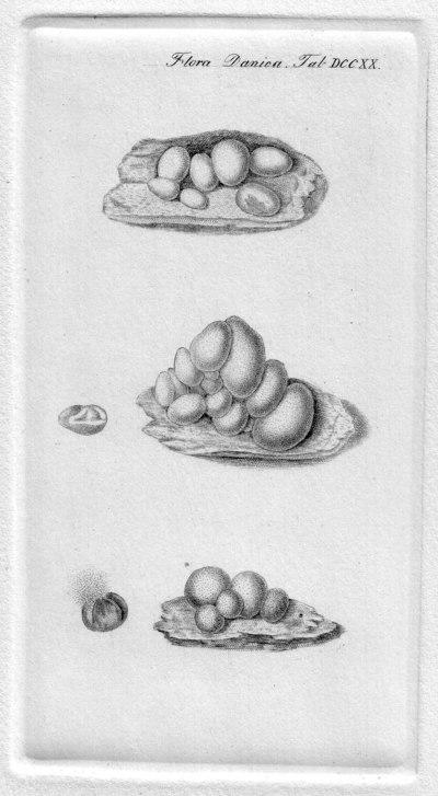 Lycogala epidendrum (J.C. Buxb. ex L.) Fr.